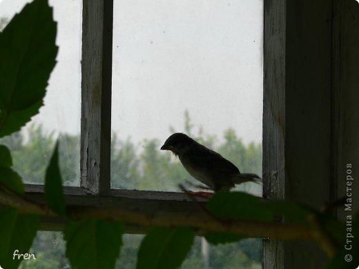 Добрый день дорогие мастера и мастерицы! Хочу рассказать маленькую историю, которая произошла со мной в июне. Я очень люблю проводить лето на даче, сажаю цветы, ухаживаю за садом. Покормиться в сад прилетает много птиц: воробьи, синицы, чижи, дубоносы, скворцы и дрозды. Каждое утро насыпаю им в кормушки угощения. И в одно такое утро я обнаружила на земле в траве около дома маленького птенчика-воробушка. Был сильный ветер и его видимо сдуло вместе с гнездом из под крыши дома. Сначала посадила его на ветку и решила дождаться родителей, но в течение часа никто не прилетел. Вот и взяла его себе на воспитание. :) Принесла домой и устроила гнездо в коробке. фото 8