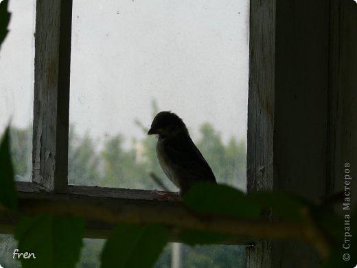 Добрый день дорогие мастера и мастерицы! Хочу рассказать маленькую историю, которая произошла со мной в июне. Я очень люблю проводить лето на даче, сажаю цветы, ухаживаю за садом. Покормиться в сад прилетает много птиц: воробьи, синицы, чижи, дубоносы, скворцы и дрозды. Каждое утро насыпаю им в кормушки угощения. И в одно такое утро я обнаружила на земле в траве около дома маленького птенчика-воробушка. Был сильный ветер и его видимо сдуло вместе с гнездом из под крыши дома. Сначала посадила его на ветку и решила дождаться родителей, но в течение часа никто не прилетел. Вот и взяла его себе на воспитание. :) Принесла домой и устроила гнездо в коробке. фото 9