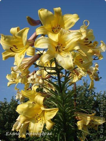 Наши лилии. У нас их уже штук 30 разных сортов. Ищем что то экзотическое, необычные окраски цветов. Все остальные уже приобрели. Добро пожаловать на дачу. фото 8