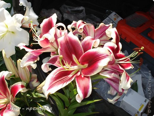 Наши лилии. У нас их уже штук 30 разных сортов. Ищем что то экзотическое, необычные окраски цветов. Все остальные уже приобрели. Добро пожаловать на дачу. фото 15