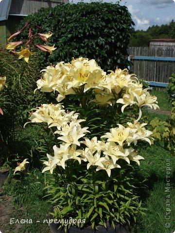 Наши лилии. У нас их уже штук 30 разных сортов. Ищем что то экзотическое, необычные окраски цветов. Все остальные уже приобрели. Добро пожаловать на дачу. фото 1