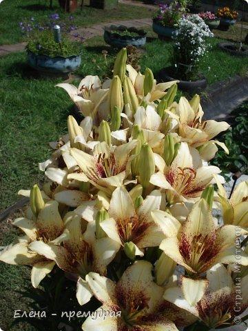 Наши лилии. У нас их уже штук 30 разных сортов. Ищем что то экзотическое, необычные окраски цветов. Все остальные уже приобрели. Добро пожаловать на дачу. фото 3