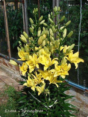 Наши лилии. У нас их уже штук 30 разных сортов. Ищем что то экзотическое, необычные окраски цветов. Все остальные уже приобрели. Добро пожаловать на дачу. фото 6