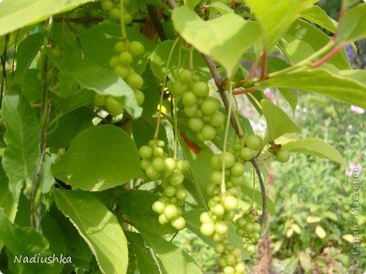 Милые мои мастерицы, я уже неоднократно показывала цветы, которые моя мама выращивает у себя в Тосненском районе Ленинградской области, обычно в качестве бонуса к моим работам. А вот сегодня хочу показать, во что выливаются творческие порывы моей мамочки. Ну и естественно, покажу еще цветы ) Но начну с клубнички (кстати, у нас её принято называть викторией, а клубникой зовут дикую ягоду, которая обычно растёт на лугах (не земляника!))  фото 2