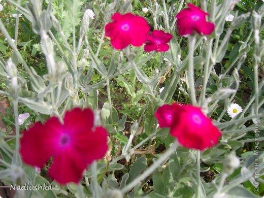Милые мои мастерицы, я уже неоднократно показывала цветы, которые моя мама выращивает у себя в Тосненском районе Ленинградской области, обычно в качестве бонуса к моим работам. А вот сегодня хочу показать, во что выливаются творческие порывы моей мамочки. Ну и естественно, покажу еще цветы ) Но начну с клубнички (кстати, у нас её принято называть викторией, а клубникой зовут дикую ягоду, которая обычно растёт на лугах (не земляника!))  фото 22
