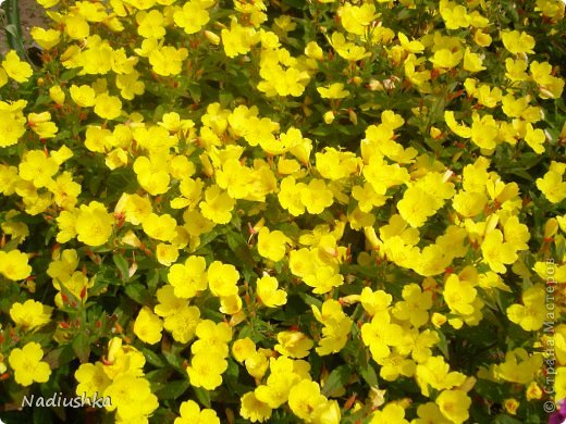 Милые мои мастерицы, я уже неоднократно показывала цветы, которые моя мама выращивает у себя в Тосненском районе Ленинградской области, обычно в качестве бонуса к моим работам. А вот сегодня хочу показать, во что выливаются творческие порывы моей мамочки. Ну и естественно, покажу еще цветы ) Но начну с клубнички (кстати, у нас её принято называть викторией, а клубникой зовут дикую ягоду, которая обычно растёт на лугах (не земляника!))  фото 23