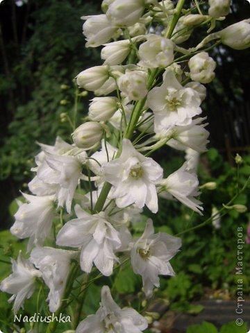 Милые мои мастерицы, я уже неоднократно показывала цветы, которые моя мама выращивает у себя в Тосненском районе Ленинградской области, обычно в качестве бонуса к моим работам. А вот сегодня хочу показать, во что выливаются творческие порывы моей мамочки. Ну и естественно, покажу еще цветы ) Но начну с клубнички (кстати, у нас её принято называть викторией, а клубникой зовут дикую ягоду, которая обычно растёт на лугах (не земляника!))  фото 18