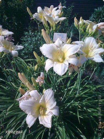Всем тем, кто не прошёл мимо. Здравствуйте. Хочу показать вам свои лилии и лилейники. Приятного просмотра. фото 14
