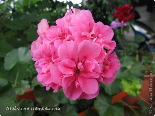 Мои любимые пеларгонии, они сейчас цветут, хочу с вами поделиться красотой! Этот цветок алого цвета. фото 12