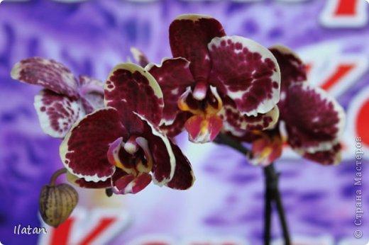 Привет привет!!! Это снова я!!!  И не с пустыми руками, а с ОРХИДЕЙКАМИ!!!!  Есть легенда о происхождении этих чудо цветов, хотите ее узнать? Мне кажется это интересно  У одного из новозеландских племён есть древняя легенда о божественном происхождении орхидей.   В то далёкое время, когда над необозримой водной гладью возвышались только заснеженные вершины гор, солнце иногда подтапливало снег, и вода бурными потоками стекала с гор, превращаясь в красивые бурлящие водопады.   Водопады вливались в океан, а часть воды испарялась, образуя густые белые облака. Они-то и мешали солнцу смотреть на землю.   Солнце решило разрушить этот непроницаемый покров, и на землю полился тропический ливень, а когда он кончился, воссияла радуга неописуемой красоты, которая обняла всё небо.   Бессмертные духи, обитающие на земле, были восхищены этим царственным зрелищем и стали слетаться к радуге, усаживаясь на сверкающем всеми красками мосту. Места всем не хватало, они толкались и ссорились…   Но потом, усевшись на радугу, запели хором. Радуга же прогибалась под их тяжестью до тех пор, пока не переломилась и не рухнула на землю, где и разлетелась на мелкие частички.   Разноцветной пылью осыпались они на землю, а те, что упали на деревья, превратились в орхидеи.   И ни один цветок потом не решился оспаривать право орхидеи называться королевой всех цветов.  Подсмотрела здесь: http://www.myjane.ru/articles/text/?id=7936  Полюбуйтесь на моих красавиц....  Надеюсь никто не останется равнодушным, их просто невозможно нелюбить!!!  Приятного просмотра!  Не комментирую и так все понятно :) фото 20