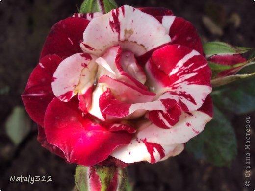 """Корзиночка роз с конфетами """"Осенний вальс"""". фото 9"""