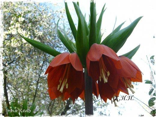 """Любите ли вы цветы, как люблю их я? Сразу понятно, что эта запись в блоге будет о цветах. У большинства людей уже мысли про новый год, а я хочу поделится с вами яркими красками весны и лета, которые для меня промчались  в этом году незаметно.....  :(   Весна у нас (Беларусь) в этом году наступила очень поздно, а лето промчалось со скоростью света и мне как-то очень не хватает есчё тёплых деньков и красок моих цветов, которые я выращиваю на даче (у нас домик в деревне). Возможно  кто-то хотел бы продлить лето как и я, вот эта запись для вас.  Фото у меня много, поэтому фоторепортаж будет состоять как минимум из 2-х частей.  Почти все они буду с этого лета. Возможно пару с прошлого года.   Итак, если вам интересно, поехали. Начну с моего любимца.  Его величество """"Рябчик императорский"""" Многолетник.    фото 1"""