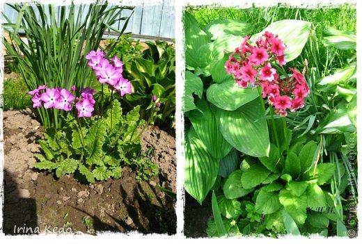 """Любите ли вы цветы, как люблю их я? Сразу понятно, что эта запись в блоге будет о цветах. У большинства людей уже мысли про новый год, а я хочу поделится с вами яркими красками весны и лета, которые для меня промчались  в этом году незаметно.....  :(   Весна у нас (Беларусь) в этом году наступила очень поздно, а лето промчалось со скоростью света и мне как-то очень не хватает есчё тёплых деньков и красок моих цветов, которые я выращиваю на даче (у нас домик в деревне). Возможно  кто-то хотел бы продлить лето как и я, вот эта запись для вас.  Фото у меня много, поэтому фоторепортаж будет состоять как минимум из 2-х частей.  Почти все они буду с этого лета. Возможно пару с прошлого года.   Итак, если вам интересно, поехали. Начну с моего любимца.  Его величество """"Рябчик императорский"""" Многолетник.    фото 14"""