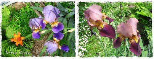 """Любите ли вы цветы, как люблю их я? Сразу понятно, что эта запись в блоге будет о цветах. У большинства людей уже мысли про новый год, а я хочу поделится с вами яркими красками весны и лета, которые для меня промчались  в этом году незаметно.....  :(   Весна у нас (Беларусь) в этом году наступила очень поздно, а лето промчалось со скоростью света и мне как-то очень не хватает есчё тёплых деньков и красок моих цветов, которые я выращиваю на даче (у нас домик в деревне). Возможно  кто-то хотел бы продлить лето как и я, вот эта запись для вас.  Фото у меня много, поэтому фоторепортаж будет состоять как минимум из 2-х частей.  Почти все они буду с этого лета. Возможно пару с прошлого года.   Итак, если вам интересно, поехали. Начну с моего любимца.  Его величество """"Рябчик императорский"""" Многолетник.    фото 15"""