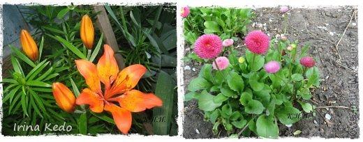 """Любите ли вы цветы, как люблю их я? Сразу понятно, что эта запись в блоге будет о цветах. У большинства людей уже мысли про новый год, а я хочу поделится с вами яркими красками весны и лета, которые для меня промчались  в этом году незаметно.....  :(   Весна у нас (Беларусь) в этом году наступила очень поздно, а лето промчалось со скоростью света и мне как-то очень не хватает есчё тёплых деньков и красок моих цветов, которые я выращиваю на даче (у нас домик в деревне). Возможно  кто-то хотел бы продлить лето как и я, вот эта запись для вас.  Фото у меня много, поэтому фоторепортаж будет состоять как минимум из 2-х частей.  Почти все они буду с этого лета. Возможно пару с прошлого года.   Итак, если вам интересно, поехали. Начну с моего любимца.  Его величество """"Рябчик императорский"""" Многолетник.    фото 16"""