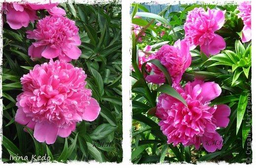 """Любите ли вы цветы, как люблю их я? Сразу понятно, что эта запись в блоге будет о цветах. У большинства людей уже мысли про новый год, а я хочу поделится с вами яркими красками весны и лета, которые для меня промчались  в этом году незаметно.....  :(   Весна у нас (Беларусь) в этом году наступила очень поздно, а лето промчалось со скоростью света и мне как-то очень не хватает есчё тёплых деньков и красок моих цветов, которые я выращиваю на даче (у нас домик в деревне). Возможно  кто-то хотел бы продлить лето как и я, вот эта запись для вас.  Фото у меня много, поэтому фоторепортаж будет состоять как минимум из 2-х частей.  Почти все они буду с этого лета. Возможно пару с прошлого года.   Итак, если вам интересно, поехали. Начну с моего любимца.  Его величество """"Рябчик императорский"""" Многолетник.    фото 19"""