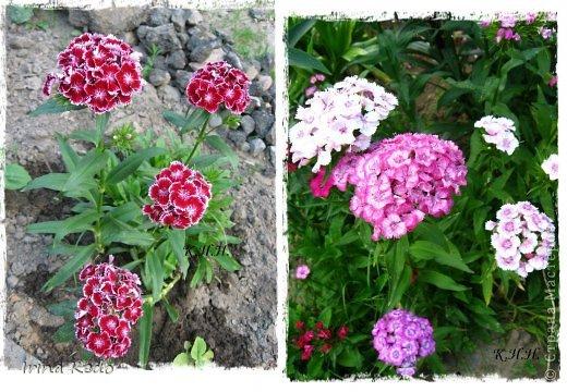 """Любите ли вы цветы, как люблю их я? Сразу понятно, что эта запись в блоге будет о цветах. У большинства людей уже мысли про новый год, а я хочу поделится с вами яркими красками весны и лета, которые для меня промчались  в этом году незаметно.....  :(   Весна у нас (Беларусь) в этом году наступила очень поздно, а лето промчалось со скоростью света и мне как-то очень не хватает есчё тёплых деньков и красок моих цветов, которые я выращиваю на даче (у нас домик в деревне). Возможно  кто-то хотел бы продлить лето как и я, вот эта запись для вас.  Фото у меня много, поэтому фоторепортаж будет состоять как минимум из 2-х частей.  Почти все они буду с этого лета. Возможно пару с прошлого года.   Итак, если вам интересно, поехали. Начну с моего любимца.  Его величество """"Рябчик императорский"""" Многолетник.    фото 20"""