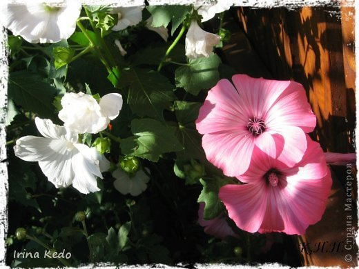 """Любите ли вы цветы, как люблю их я? Сразу понятно, что эта запись в блоге будет о цветах. У большинства людей уже мысли про новый год, а я хочу поделится с вами яркими красками весны и лета, которые для меня промчались  в этом году незаметно.....  :(   Весна у нас (Беларусь) в этом году наступила очень поздно, а лето промчалось со скоростью света и мне как-то очень не хватает есчё тёплых деньков и красок моих цветов, которые я выращиваю на даче (у нас домик в деревне). Возможно  кто-то хотел бы продлить лето как и я, вот эта запись для вас.  Фото у меня много, поэтому фоторепортаж будет состоять как минимум из 2-х частей.  Почти все они буду с этого лета. Возможно пару с прошлого года.   Итак, если вам интересно, поехали. Начну с моего любимца.  Его величество """"Рябчик императорский"""" Многолетник.    фото 22"""
