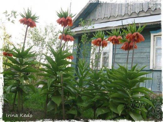"""Любите ли вы цветы, как люблю их я? Сразу понятно, что эта запись в блоге будет о цветах. У большинства людей уже мысли про новый год, а я хочу поделится с вами яркими красками весны и лета, которые для меня промчались  в этом году незаметно.....  :(   Весна у нас (Беларусь) в этом году наступила очень поздно, а лето промчалось со скоростью света и мне как-то очень не хватает есчё тёплых деньков и красок моих цветов, которые я выращиваю на даче (у нас домик в деревне). Возможно  кто-то хотел бы продлить лето как и я, вот эта запись для вас.  Фото у меня много, поэтому фоторепортаж будет состоять как минимум из 2-х частей.  Почти все они буду с этого лета. Возможно пару с прошлого года.   Итак, если вам интересно, поехали. Начну с моего любимца.  Его величество """"Рябчик императорский"""" Многолетник.    фото 2"""