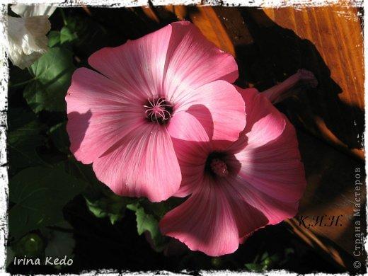 """Любите ли вы цветы, как люблю их я? Сразу понятно, что эта запись в блоге будет о цветах. У большинства людей уже мысли про новый год, а я хочу поделится с вами яркими красками весны и лета, которые для меня промчались  в этом году незаметно.....  :(   Весна у нас (Беларусь) в этом году наступила очень поздно, а лето промчалось со скоростью света и мне как-то очень не хватает есчё тёплых деньков и красок моих цветов, которые я выращиваю на даче (у нас домик в деревне). Возможно  кто-то хотел бы продлить лето как и я, вот эта запись для вас.  Фото у меня много, поэтому фоторепортаж будет состоять как минимум из 2-х частей.  Почти все они буду с этого лета. Возможно пару с прошлого года.   Итак, если вам интересно, поехали. Начну с моего любимца.  Его величество """"Рябчик императорский"""" Многолетник.    фото 23"""