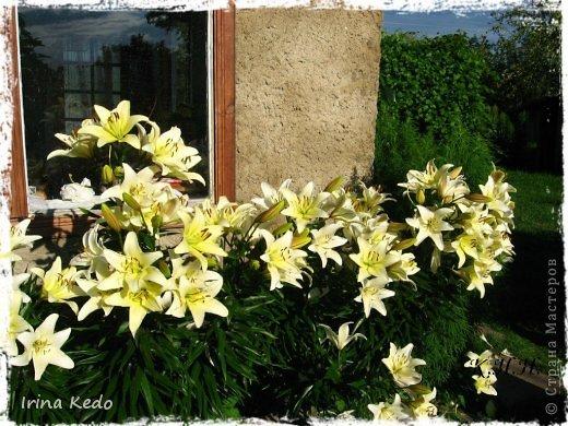 """Любите ли вы цветы, как люблю их я? Сразу понятно, что эта запись в блоге будет о цветах. У большинства людей уже мысли про новый год, а я хочу поделится с вами яркими красками весны и лета, которые для меня промчались  в этом году незаметно.....  :(   Весна у нас (Беларусь) в этом году наступила очень поздно, а лето промчалось со скоростью света и мне как-то очень не хватает есчё тёплых деньков и красок моих цветов, которые я выращиваю на даче (у нас домик в деревне). Возможно  кто-то хотел бы продлить лето как и я, вот эта запись для вас.  Фото у меня много, поэтому фоторепортаж будет состоять как минимум из 2-х частей.  Почти все они буду с этого лета. Возможно пару с прошлого года.   Итак, если вам интересно, поехали. Начну с моего любимца.  Его величество """"Рябчик императорский"""" Многолетник.    фото 24"""