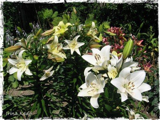 """Любите ли вы цветы, как люблю их я? Сразу понятно, что эта запись в блоге будет о цветах. У большинства людей уже мысли про новый год, а я хочу поделится с вами яркими красками весны и лета, которые для меня промчались  в этом году незаметно.....  :(   Весна у нас (Беларусь) в этом году наступила очень поздно, а лето промчалось со скоростью света и мне как-то очень не хватает есчё тёплых деньков и красок моих цветов, которые я выращиваю на даче (у нас домик в деревне). Возможно  кто-то хотел бы продлить лето как и я, вот эта запись для вас.  Фото у меня много, поэтому фоторепортаж будет состоять как минимум из 2-х частей.  Почти все они буду с этого лета. Возможно пару с прошлого года.   Итак, если вам интересно, поехали. Начну с моего любимца.  Его величество """"Рябчик императорский"""" Многолетник.    фото 25"""