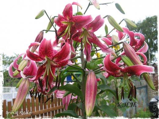 """Любите ли вы цветы, как люблю их я? Сразу понятно, что эта запись в блоге будет о цветах. У большинства людей уже мысли про новый год, а я хочу поделится с вами яркими красками весны и лета, которые для меня промчались  в этом году незаметно.....  :(   Весна у нас (Беларусь) в этом году наступила очень поздно, а лето промчалось со скоростью света и мне как-то очень не хватает есчё тёплых деньков и красок моих цветов, которые я выращиваю на даче (у нас домик в деревне). Возможно  кто-то хотел бы продлить лето как и я, вот эта запись для вас.  Фото у меня много, поэтому фоторепортаж будет состоять как минимум из 2-х частей.  Почти все они буду с этого лета. Возможно пару с прошлого года.   Итак, если вам интересно, поехали. Начну с моего любимца.  Его величество """"Рябчик императорский"""" Многолетник.    фото 26"""