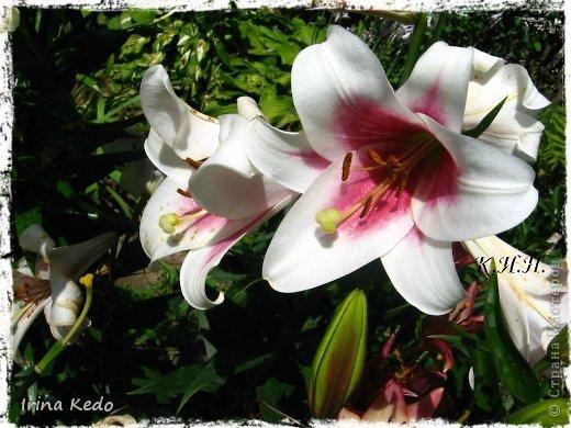 """Любите ли вы цветы, как люблю их я? Сразу понятно, что эта запись в блоге будет о цветах. У большинства людей уже мысли про новый год, а я хочу поделится с вами яркими красками весны и лета, которые для меня промчались  в этом году незаметно.....  :(   Весна у нас (Беларусь) в этом году наступила очень поздно, а лето промчалось со скоростью света и мне как-то очень не хватает есчё тёплых деньков и красок моих цветов, которые я выращиваю на даче (у нас домик в деревне). Возможно  кто-то хотел бы продлить лето как и я, вот эта запись для вас.  Фото у меня много, поэтому фоторепортаж будет состоять как минимум из 2-х частей.  Почти все они буду с этого лета. Возможно пару с прошлого года.   Итак, если вам интересно, поехали. Начну с моего любимца.  Его величество """"Рябчик императорский"""" Многолетник.    фото 27"""