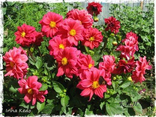 """Любите ли вы цветы, как люблю их я? Сразу понятно, что эта запись в блоге будет о цветах. У большинства людей уже мысли про новый год, а я хочу поделится с вами яркими красками весны и лета, которые для меня промчались  в этом году незаметно.....  :(   Весна у нас (Беларусь) в этом году наступила очень поздно, а лето промчалось со скоростью света и мне как-то очень не хватает есчё тёплых деньков и красок моих цветов, которые я выращиваю на даче (у нас домик в деревне). Возможно  кто-то хотел бы продлить лето как и я, вот эта запись для вас.  Фото у меня много, поэтому фоторепортаж будет состоять как минимум из 2-х частей.  Почти все они буду с этого лета. Возможно пару с прошлого года.   Итак, если вам интересно, поехали. Начну с моего любимца.  Его величество """"Рябчик императорский"""" Многолетник.    фото 31"""