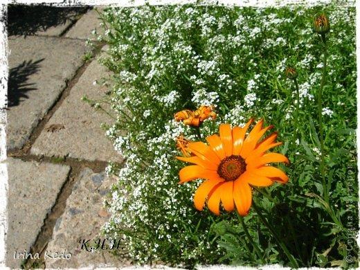 """Любите ли вы цветы, как люблю их я? Сразу понятно, что эта запись в блоге будет о цветах. У большинства людей уже мысли про новый год, а я хочу поделится с вами яркими красками весны и лета, которые для меня промчались  в этом году незаметно.....  :(   Весна у нас (Беларусь) в этом году наступила очень поздно, а лето промчалось со скоростью света и мне как-то очень не хватает есчё тёплых деньков и красок моих цветов, которые я выращиваю на даче (у нас домик в деревне). Возможно  кто-то хотел бы продлить лето как и я, вот эта запись для вас.  Фото у меня много, поэтому фоторепортаж будет состоять как минимум из 2-х частей.  Почти все они буду с этого лета. Возможно пару с прошлого года.   Итак, если вам интересно, поехали. Начну с моего любимца.  Его величество """"Рябчик императорский"""" Многолетник.    фото 33"""