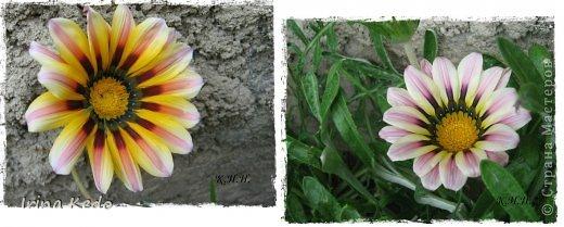 """Любите ли вы цветы, как люблю их я? Сразу понятно, что эта запись в блоге будет о цветах. У большинства людей уже мысли про новый год, а я хочу поделится с вами яркими красками весны и лета, которые для меня промчались  в этом году незаметно.....  :(   Весна у нас (Беларусь) в этом году наступила очень поздно, а лето промчалось со скоростью света и мне как-то очень не хватает есчё тёплых деньков и красок моих цветов, которые я выращиваю на даче (у нас домик в деревне). Возможно  кто-то хотел бы продлить лето как и я, вот эта запись для вас.  Фото у меня много, поэтому фоторепортаж будет состоять как минимум из 2-х частей.  Почти все они буду с этого лета. Возможно пару с прошлого года.   Итак, если вам интересно, поехали. Начну с моего любимца.  Его величество """"Рябчик императорский"""" Многолетник.    фото 36"""
