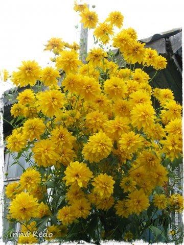 """Любите ли вы цветы, как люблю их я? Сразу понятно, что эта запись в блоге будет о цветах. У большинства людей уже мысли про новый год, а я хочу поделится с вами яркими красками весны и лета, которые для меня промчались  в этом году незаметно.....  :(   Весна у нас (Беларусь) в этом году наступила очень поздно, а лето промчалось со скоростью света и мне как-то очень не хватает есчё тёплых деньков и красок моих цветов, которые я выращиваю на даче (у нас домик в деревне). Возможно  кто-то хотел бы продлить лето как и я, вот эта запись для вас.  Фото у меня много, поэтому фоторепортаж будет состоять как минимум из 2-х частей.  Почти все они буду с этого лета. Возможно пару с прошлого года.   Итак, если вам интересно, поехали. Начну с моего любимца.  Его величество """"Рябчик императорский"""" Многолетник.    фото 37"""