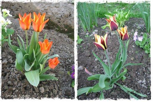 """Любите ли вы цветы, как люблю их я? Сразу понятно, что эта запись в блоге будет о цветах. У большинства людей уже мысли про новый год, а я хочу поделится с вами яркими красками весны и лета, которые для меня промчались  в этом году незаметно.....  :(   Весна у нас (Беларусь) в этом году наступила очень поздно, а лето промчалось со скоростью света и мне как-то очень не хватает есчё тёплых деньков и красок моих цветов, которые я выращиваю на даче (у нас домик в деревне). Возможно  кто-то хотел бы продлить лето как и я, вот эта запись для вас.  Фото у меня много, поэтому фоторепортаж будет состоять как минимум из 2-х частей.  Почти все они буду с этого лета. Возможно пару с прошлого года.   Итак, если вам интересно, поехали. Начну с моего любимца.  Его величество """"Рябчик императорский"""" Многолетник.    фото 11"""