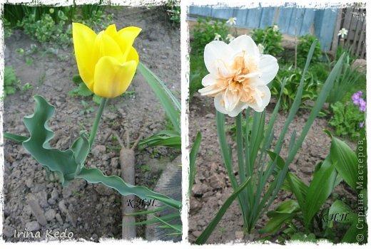 """Любите ли вы цветы, как люблю их я? Сразу понятно, что эта запись в блоге будет о цветах. У большинства людей уже мысли про новый год, а я хочу поделится с вами яркими красками весны и лета, которые для меня промчались  в этом году незаметно.....  :(   Весна у нас (Беларусь) в этом году наступила очень поздно, а лето промчалось со скоростью света и мне как-то очень не хватает есчё тёплых деньков и красок моих цветов, которые я выращиваю на даче (у нас домик в деревне). Возможно  кто-то хотел бы продлить лето как и я, вот эта запись для вас.  Фото у меня много, поэтому фоторепортаж будет состоять как минимум из 2-х частей.  Почти все они буду с этого лета. Возможно пару с прошлого года.   Итак, если вам интересно, поехали. Начну с моего любимца.  Его величество """"Рябчик императорский"""" Многолетник.    фото 12"""