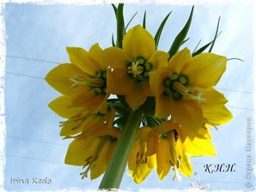 """Любите ли вы цветы, как люблю их я? Сразу понятно, что эта запись в блоге будет о цветах. У большинства людей уже мысли про новый год, а я хочу поделится с вами яркими красками весны и лета, которые для меня промчались  в этом году незаметно.....  :(   Весна у нас (Беларусь) в этом году наступила очень поздно, а лето промчалось со скоростью света и мне как-то очень не хватает есчё тёплых деньков и красок моих цветов, которые я выращиваю на даче (у нас домик в деревне). Возможно  кто-то хотел бы продлить лето как и я, вот эта запись для вас.  Фото у меня много, поэтому фоторепортаж будет состоять как минимум из 2-х частей.  Почти все они буду с этого лета. Возможно пару с прошлого года.   Итак, если вам интересно, поехали. Начну с моего любимца.  Его величество """"Рябчик императорский"""" Многолетник.    фото 5"""
