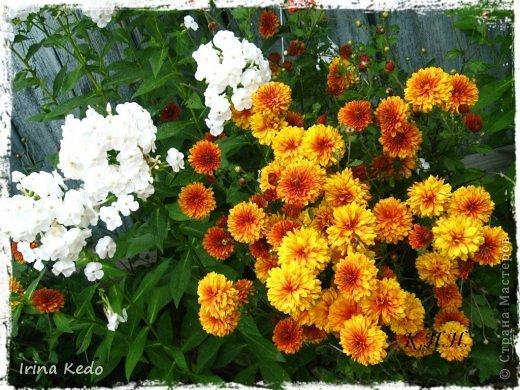 """Любите ли вы цветы, как люблю их я? Сразу понятно, что эта запись в блоге будет о цветах. У большинства людей уже мысли про новый год, а я хочу поделится с вами яркими красками весны и лета, которые для меня промчались  в этом году незаметно.....  :(   Весна у нас (Беларусь) в этом году наступила очень поздно, а лето промчалось со скоростью света и мне как-то очень не хватает есчё тёплых деньков и красок моих цветов, которые я выращиваю на даче (у нас домик в деревне). Возможно  кто-то хотел бы продлить лето как и я, вот эта запись для вас.  Фото у меня много, поэтому фоторепортаж будет состоять как минимум из 2-х частей.  Почти все они буду с этого лета. Возможно пару с прошлого года.   Итак, если вам интересно, поехали. Начну с моего любимца.  Его величество """"Рябчик императорский"""" Многолетник.    фото 35"""