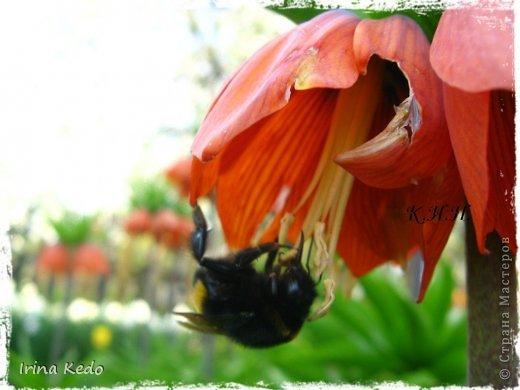 """Любите ли вы цветы, как люблю их я? Сразу понятно, что эта запись в блоге будет о цветах. У большинства людей уже мысли про новый год, а я хочу поделится с вами яркими красками весны и лета, которые для меня промчались  в этом году незаметно.....  :(   Весна у нас (Беларусь) в этом году наступила очень поздно, а лето промчалось со скоростью света и мне как-то очень не хватает есчё тёплых деньков и красок моих цветов, которые я выращиваю на даче (у нас домик в деревне). Возможно  кто-то хотел бы продлить лето как и я, вот эта запись для вас.  Фото у меня много, поэтому фоторепортаж будет состоять как минимум из 2-х частей.  Почти все они буду с этого лета. Возможно пару с прошлого года.   Итак, если вам интересно, поехали. Начну с моего любимца.  Его величество """"Рябчик императорский"""" Многолетник.    фото 3"""