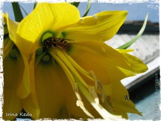 """Любите ли вы цветы, как люблю их я? Сразу понятно, что эта запись в блоге будет о цветах. У большинства людей уже мысли про новый год, а я хочу поделится с вами яркими красками весны и лета, которые для меня промчались  в этом году незаметно.....  :(   Весна у нас (Беларусь) в этом году наступила очень поздно, а лето промчалось со скоростью света и мне как-то очень не хватает есчё тёплых деньков и красок моих цветов, которые я выращиваю на даче (у нас домик в деревне). Возможно  кто-то хотел бы продлить лето как и я, вот эта запись для вас.  Фото у меня много, поэтому фоторепортаж будет состоять как минимум из 2-х частей.  Почти все они буду с этого лета. Возможно пару с прошлого года.   Итак, если вам интересно, поехали. Начну с моего любимца.  Его величество """"Рябчик императорский"""" Многолетник.    фото 6"""