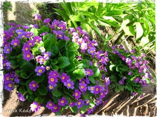 """Любите ли вы цветы, как люблю их я? Сразу понятно, что эта запись в блоге будет о цветах. У большинства людей уже мысли про новый год, а я хочу поделится с вами яркими красками весны и лета, которые для меня промчались  в этом году незаметно.....  :(   Весна у нас (Беларусь) в этом году наступила очень поздно, а лето промчалось со скоростью света и мне как-то очень не хватает есчё тёплых деньков и красок моих цветов, которые я выращиваю на даче (у нас домик в деревне). Возможно  кто-то хотел бы продлить лето как и я, вот эта запись для вас.  Фото у меня много, поэтому фоторепортаж будет состоять как минимум из 2-х частей.  Почти все они буду с этого лета. Возможно пару с прошлого года.   Итак, если вам интересно, поехали. Начну с моего любимца.  Его величество """"Рябчик императорский"""" Многолетник.    фото 8"""