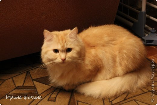Здравствуйте! Меня зовут Мурзик, правда по старой памяти меня хозяйка называет  Барсиком, так звали прошлого кота. А полгода я вообще Мусей был, потому что моя хозяйка думала, что я кошка. Но через полгода, когда я подрос и стал мужчиной, стало неожиданно понятно совсем обратное.  фото 5
