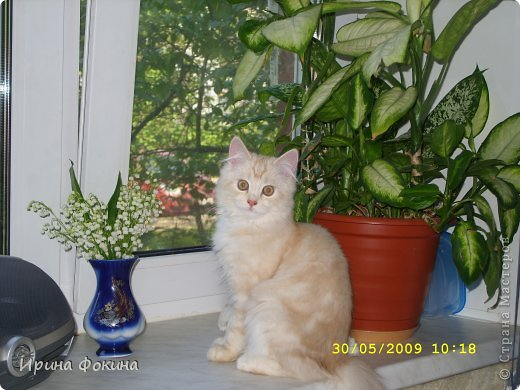 Здравствуйте! Меня зовут Мурзик, правда по старой памяти меня хозяйка называет  Барсиком, так звали прошлого кота. А полгода я вообще Мусей был, потому что моя хозяйка думала, что я кошка. Но через полгода, когда я подрос и стал мужчиной, стало неожиданно понятно совсем обратное.  фото 15