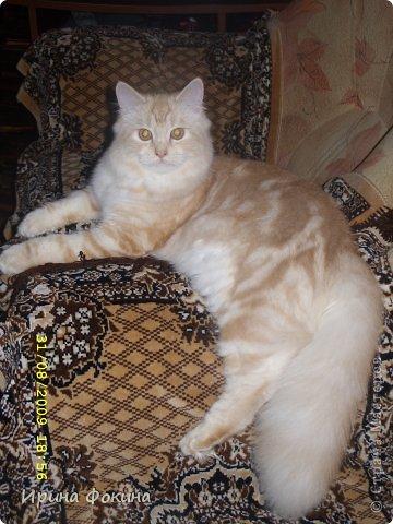 Здравствуйте! Меня зовут Мурзик, правда по старой памяти меня хозяйка называет  Барсиком, так звали прошлого кота. А полгода я вообще Мусей был, потому что моя хозяйка думала, что я кошка. Но через полгода, когда я подрос и стал мужчиной, стало неожиданно понятно совсем обратное.  фото 13