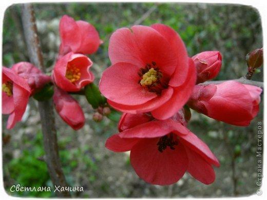 Зима, слякоть и серость и душа просит, ну уже очень сильно просит солнышка и цветочков! Дорогие гостьюшки, погуляем по моему палисадничку, порадуемся птичкам и бабочкам, понюхаем цветочки! Порадуем душу весенними красками, их у меня много! Весна у нас ранняя и бешеная! Вспыхивает и загорается мгновенно, всё цветёт и благоухает разом, не знаешь куда смотреть и, что снимать. Летом такой роскоши уже нет... Летом наши бедные растения умирают от палящего солнца и изнуряющей жары. Цветут только колючки и акации. Осень потом порадует розами и хризантемами, если лето не до конца выжжет и весной улитки  не слопают.  Персик цветёт очень рано, персиковые сады стоят в розовой пене, как клубничное варенье.  фото 2