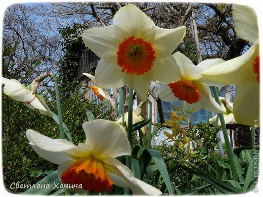 Зима, слякоть и серость и душа просит, ну уже очень сильно просит солнышка и цветочков! Дорогие гостьюшки, погуляем по моему палисадничку, порадуемся птичкам и бабочкам, понюхаем цветочки! Порадуем душу весенними красками, их у меня много! Весна у нас ранняя и бешеная! Вспыхивает и загорается мгновенно, всё цветёт и благоухает разом, не знаешь куда смотреть и, что снимать. Летом такой роскоши уже нет... Летом наши бедные растения умирают от палящего солнца и изнуряющей жары. Цветут только колючки и акации. Осень потом порадует розами и хризантемами, если лето не до конца выжжет и весной улитки  не слопают.  Персик цветёт очень рано, персиковые сады стоят в розовой пене, как клубничное варенье.  фото 6