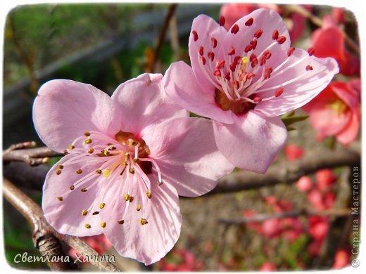 Зима, слякоть и серость и душа просит, ну уже очень сильно просит солнышка и цветочков! Дорогие гостьюшки, погуляем по моему палисадничку, порадуемся птичкам и бабочкам, понюхаем цветочки! Порадуем душу весенними красками, их у меня много! Весна у нас ранняя и бешеная! Вспыхивает и загорается мгновенно, всё цветёт и благоухает разом, не знаешь куда смотреть и, что снимать. Летом такой роскоши уже нет... Летом наши бедные растения умирают от палящего солнца и изнуряющей жары. Цветут только колючки и акации. Осень потом порадует розами и хризантемами, если лето не до конца выжжет и весной улитки  не слопают.  Персик цветёт очень рано, персиковые сады стоят в розовой пене, как клубничное варенье.  фото 1