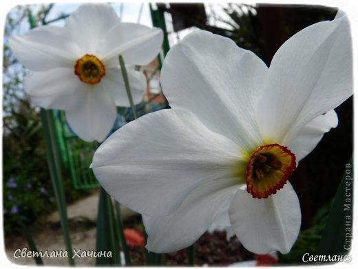 Зима, слякоть и серость и душа просит, ну уже очень сильно просит солнышка и цветочков! Дорогие гостьюшки, погуляем по моему палисадничку, порадуемся птичкам и бабочкам, понюхаем цветочки! Порадуем душу весенними красками, их у меня много! Весна у нас ранняя и бешеная! Вспыхивает и загорается мгновенно, всё цветёт и благоухает разом, не знаешь куда смотреть и, что снимать. Летом такой роскоши уже нет... Летом наши бедные растения умирают от палящего солнца и изнуряющей жары. Цветут только колючки и акации. Осень потом порадует розами и хризантемами, если лето не до конца выжжет и весной улитки  не слопают.  Персик цветёт очень рано, персиковые сады стоят в розовой пене, как клубничное варенье.  фото 7