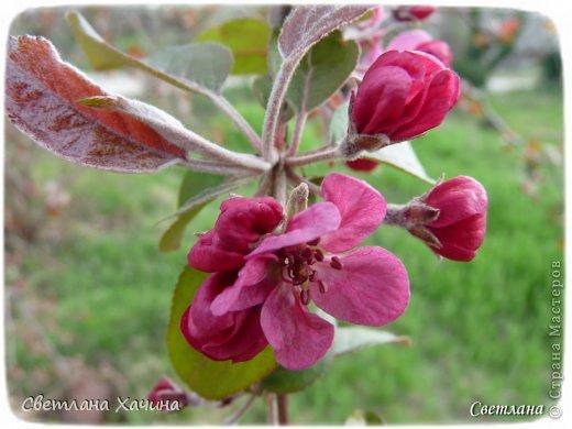 Зима, слякоть и серость и душа просит, ну уже очень сильно просит солнышка и цветочков! Дорогие гостьюшки, погуляем по моему палисадничку, порадуемся птичкам и бабочкам, понюхаем цветочки! Порадуем душу весенними красками, их у меня много! Весна у нас ранняя и бешеная! Вспыхивает и загорается мгновенно, всё цветёт и благоухает разом, не знаешь куда смотреть и, что снимать. Летом такой роскоши уже нет... Летом наши бедные растения умирают от палящего солнца и изнуряющей жары. Цветут только колючки и акации. Осень потом порадует розами и хризантемами, если лето не до конца выжжет и весной улитки  не слопают.  Персик цветёт очень рано, персиковые сады стоят в розовой пене, как клубничное варенье.  фото 15