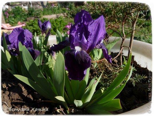 Зима, слякоть и серость и душа просит, ну уже очень сильно просит солнышка и цветочков! Дорогие гостьюшки, погуляем по моему палисадничку, порадуемся птичкам и бабочкам, понюхаем цветочки! Порадуем душу весенними красками, их у меня много! Весна у нас ранняя и бешеная! Вспыхивает и загорается мгновенно, всё цветёт и благоухает разом, не знаешь куда смотреть и, что снимать. Летом такой роскоши уже нет... Летом наши бедные растения умирают от палящего солнца и изнуряющей жары. Цветут только колючки и акации. Осень потом порадует розами и хризантемами, если лето не до конца выжжет и весной улитки  не слопают.  Персик цветёт очень рано, персиковые сады стоят в розовой пене, как клубничное варенье.  фото 22