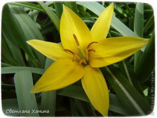 Зима, слякоть и серость и душа просит, ну уже очень сильно просит солнышка и цветочков! Дорогие гостьюшки, погуляем по моему палисадничку, порадуемся птичкам и бабочкам, понюхаем цветочки! Порадуем душу весенними красками, их у меня много! Весна у нас ранняя и бешеная! Вспыхивает и загорается мгновенно, всё цветёт и благоухает разом, не знаешь куда смотреть и, что снимать. Летом такой роскоши уже нет... Летом наши бедные растения умирают от палящего солнца и изнуряющей жары. Цветут только колючки и акации. Осень потом порадует розами и хризантемами, если лето не до конца выжжет и весной улитки  не слопают.  Персик цветёт очень рано, персиковые сады стоят в розовой пене, как клубничное варенье.  фото 12