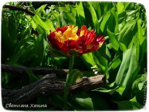 Зима, слякоть и серость и душа просит, ну уже очень сильно просит солнышка и цветочков! Дорогие гостьюшки, погуляем по моему палисадничку, порадуемся птичкам и бабочкам, понюхаем цветочки! Порадуем душу весенними красками, их у меня много! Весна у нас ранняя и бешеная! Вспыхивает и загорается мгновенно, всё цветёт и благоухает разом, не знаешь куда смотреть и, что снимать. Летом такой роскоши уже нет... Летом наши бедные растения умирают от палящего солнца и изнуряющей жары. Цветут только колючки и акации. Осень потом порадует розами и хризантемами, если лето не до конца выжжет и весной улитки  не слопают.  Персик цветёт очень рано, персиковые сады стоят в розовой пене, как клубничное варенье.  фото 18